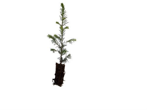 cut out conifer sapling