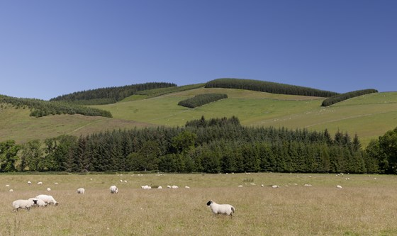 sheep and forest landscape